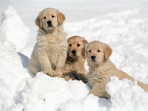 hka_puppies-in-snow-01-300x225